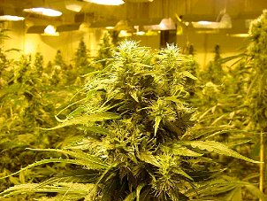 O'Fallon, St Charles, MO. Marijuana Growers Insurance
